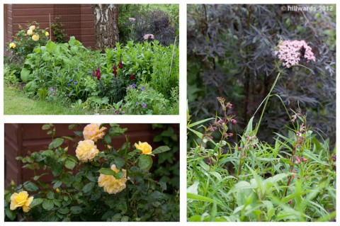 Yellow rose, Sambucus nigra 'Black Lace'; emerging penstemon flowers
