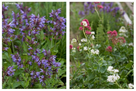 Flowering sage and centranthus ruber in the herb border