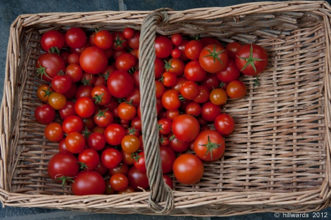 Last tomato harvest of the year