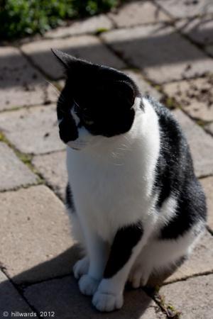 Black and white cat in September sunshine