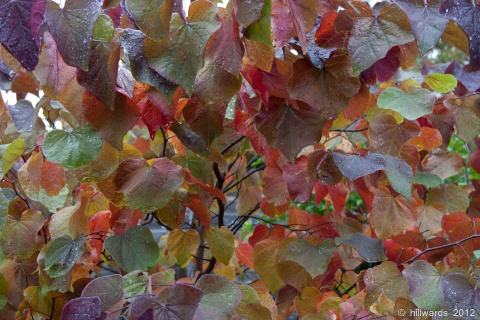 Cercis canadensis Forest Pansy autumn foliage