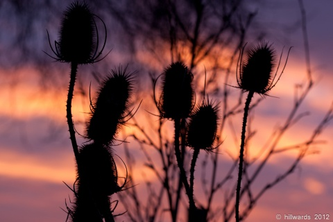 Teasel seedheads against dawn skies