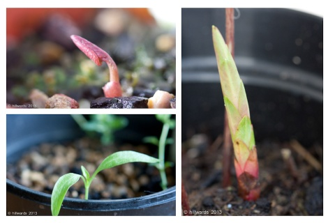 Shoots of Paeonia mlokosewitschii, Euphorbia griffithi Fireglow and unknown seedling