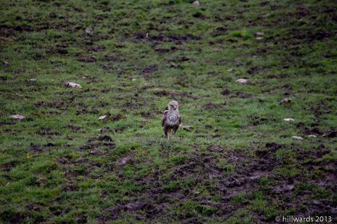 Young Red Kite standing in the field