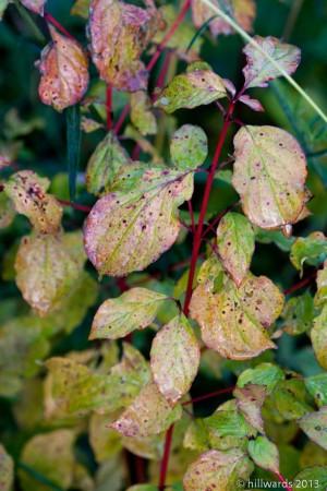 Turning leaves on Cornus 'midwinter fire'