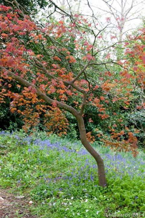 Bluebells at Bristol Botanic Garden