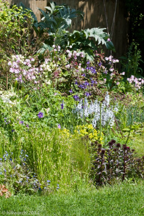 Aquilegias in the long border in May