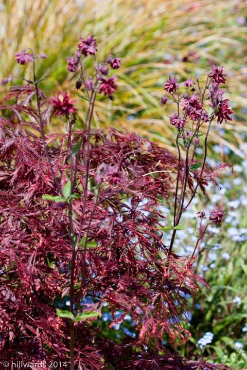 Aquilegia Ruby Port and Acer foliage