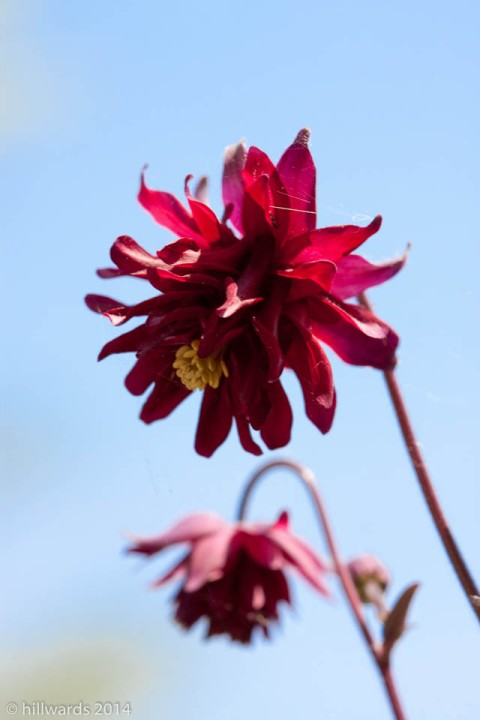 Aquilegia Ruby Port dark red flowers