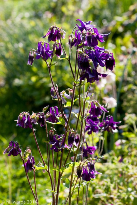 Dark purple aquilegia