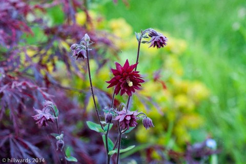 Aquilegia Ruby Port against Acer and Euphorbia