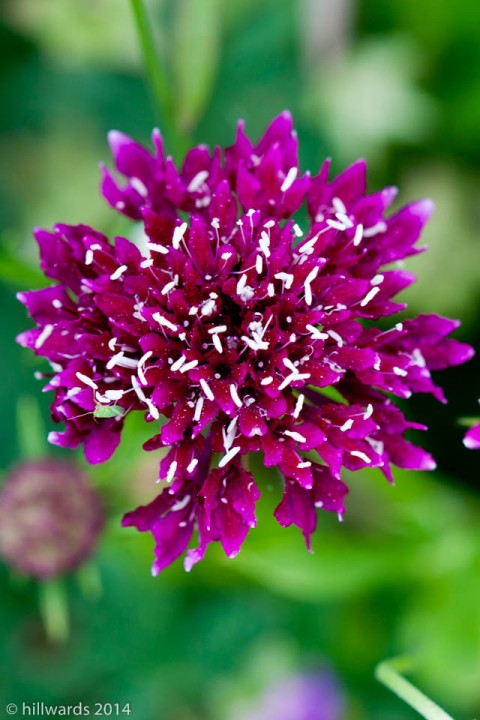 Scabious, possibly 'Fire King'