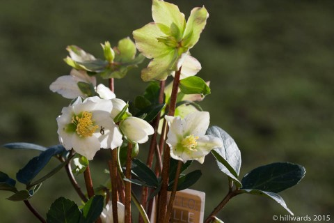 Hellebore 'Christmas Rose'